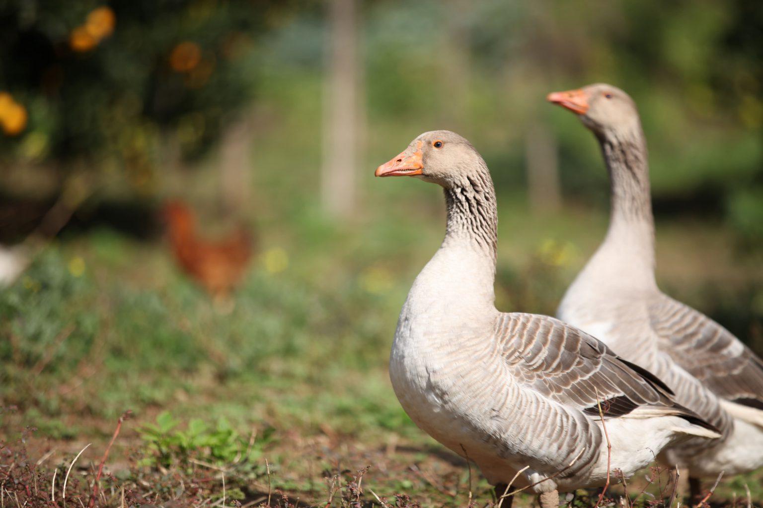 El vuelo de los gansos, una lección de trabajo en equipo