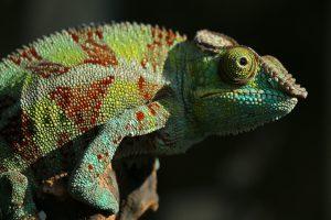 camaleon-adaptacion-cambios